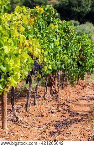 Ripe Bunches Of Red Grapes. Grape Vines At Harvest Time On Vineyard On Background Of Terracotta Colo
