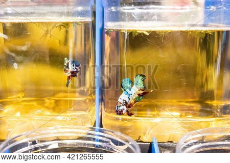 Closeup Of Fighting Fish Isolated In Jars And Visual Contact In Shop