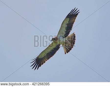 The Booted Eagle in flight (Aquila pennata)
