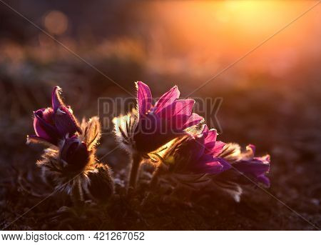 Close Up Of The First Spring Pink Flowers Pasque Flower On Baikal Rock. Early Morning Sunrise.