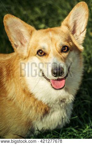 Smiling Pembroke Welsh Corgi Puppy Summer Day