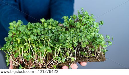 Hold The Microgreen In Hands. Milk Thistle And Radish. Sprouted Sprouts. Urban Gardening. Organic Ve