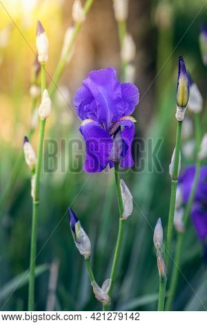 Purple Iris Flower In The Rays Of The Spring Sun (soft Focus, Bokeh)