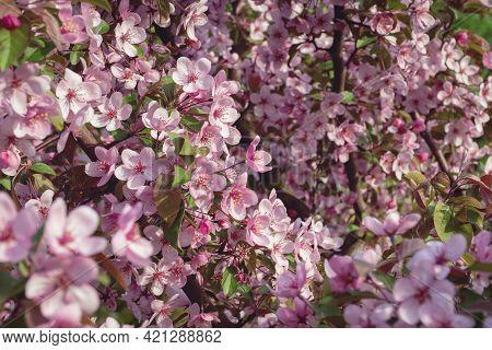 Prunus Cerasifera - Cherry Plum, Myrobalan Plum Tree In Bloom