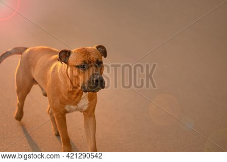 A Brown Dog Pitbull With A Black Nose And Drooping Ears Runs Along The Path In The Light Of The Sun