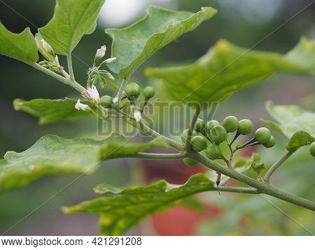 Turkey Berry, Solanum Torvum, Solanum Torvum Name Green Vegetable Blooming In Garden On Nature Backg