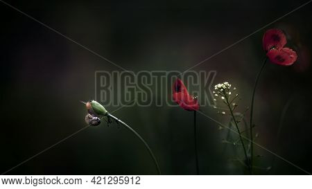 The Snail Blended Into The Landscape.delicate Red Hue Of Poppy.chic Bokeh.poppy Flowers Are Attracti