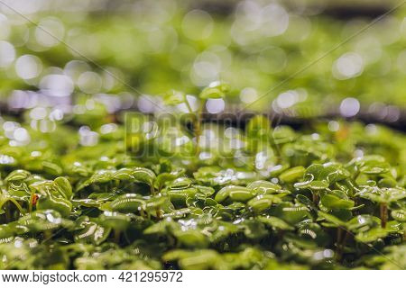 Microgreen Arugula Sprouts Into Seedling Pots. Raw Sprouts, Microgreens, Healthy Eating Concept. Sup