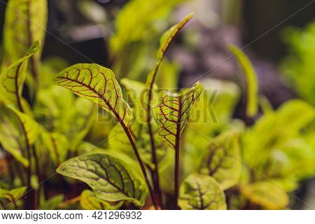 Red Beetroot, Fresh Sprouts And Young Leaves Front View . Vegetable, Herb And Microgreen. Also Beet,