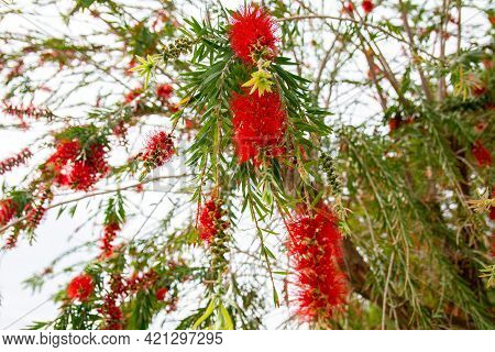 Beautiful Red Flowers Of Weeping Willow Tree.