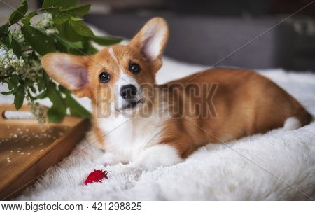 Red Welsh Corgi Pembroke Puppy At Home With Strawberries