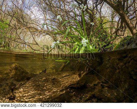 50/50 Over/underwater Three-cornered Garlic Flowers By A Stream In Bog Meadow, Enniskerry