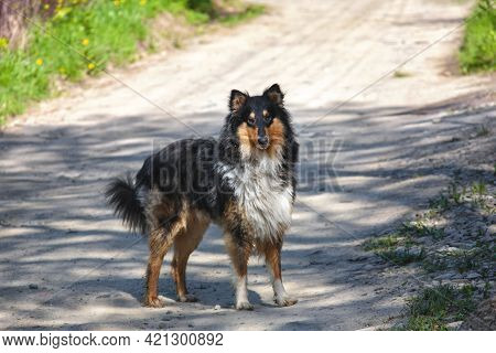 Very Beautiful Collie Dog. Collie Dog In The Countryside