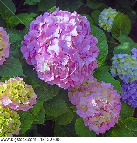 Beautiful Colorful Flowers Of Hydrangea ( Hydrangea Macrophylla ) In Garden