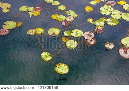 Wetland, Background. Water-lily  Leaves ( Nuphar Lutea ) And School Of Fish.  Montenegro, National P