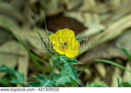 Bermuda Thistle, Brahmadanti, Cardo Santo, Caruancho, Chadron, Flowering Thistle, Gamboge Thistle, G