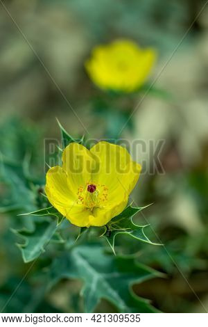 Bermuda Thistle, Chadron, Flowering Thistle, Gamboge Thistle, Gold Thistle Beautiful Yellow Flower P