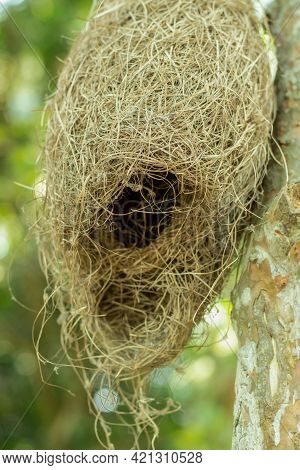 Little And Nice Weavers Or Babui Bird's Nest Made Of Straw And Hang On Tree