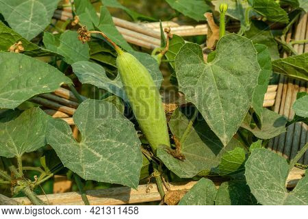 The Pointed Gourd Is An Extraordinarily Delicious Green Vegetable That Everyone Can Eat Without Any