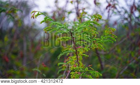 Fresh Tamarind Light Green Leaves In Soft Focus And Tree Blur Background Concept.