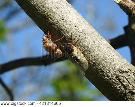 A Cicada That Has Shed Its Nymph Skin, And A Cicada Nymph That Has Not Molted From Its Shell Yet.