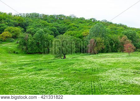 Green Parkland In The Springtime . Meadow With White Flowers