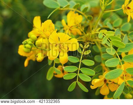 Close Up Of Small Yellow Flowers Of Senna Candolleana, Endemic Chilean Shrub Plant