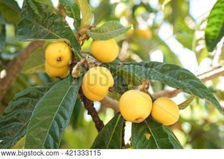 Tasty Loquats Fruit Tree Branch In Summer Season, Healthy Bio Food Products
