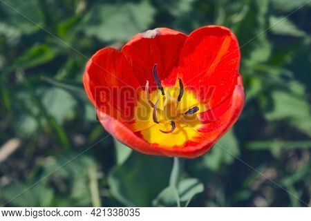 Red Tulip On Blurred Background. Red Tulip On Green Field. Close Up Of Beautiful Tulip Flower With B
