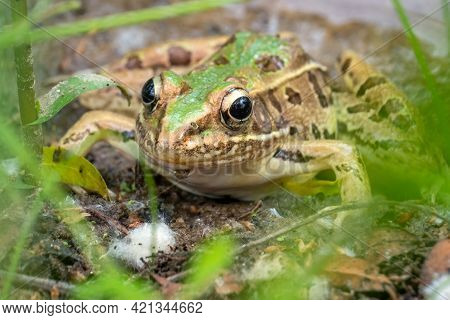 Front View Of A Southern Leopard Frog (rana Sphenocephala) By The Creek. North Carolina.