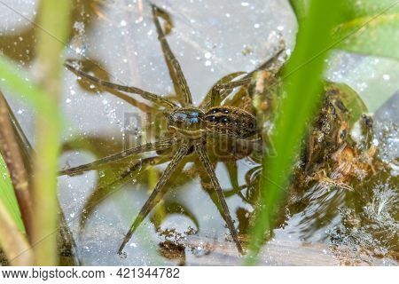 A Six-spotted Fishing Spider On The Water's Surface. Raleigh, North Carolina.
