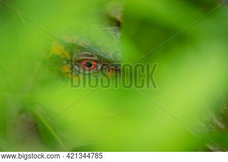 The Bright Red Eye Of An Eastern Box Turtle (terrapene Carolina Carolina) Peering Through The Greene