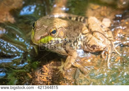 A Green Frog (rana Clamitans) Sits In The Water In A Bog. Raleigh, North Carolina.