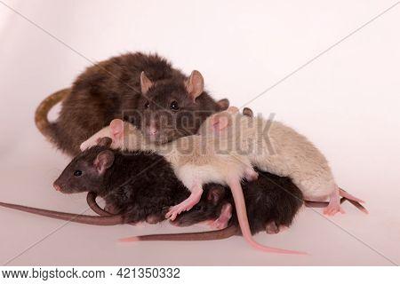 Rat Family Close Up