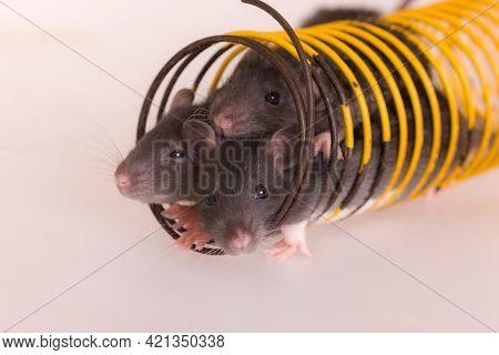 Small Baby Rats
