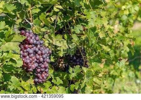 Ripening grapes in Southern Moravia, Czech Republic