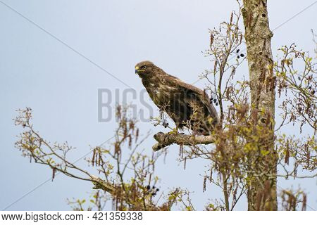 Impressive Buzzard, Buteo Buteo, Just Landed On A Branch In The Spring With Copy Space. Dominant Bir