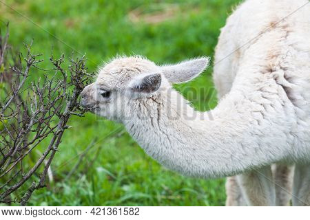 Fluffy White Guanaco Baby Ate All The Leaves From The Bush