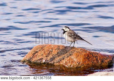 The Wagtail Bird Sits On A Large Boulder Against The Backdrop Of The Lake.