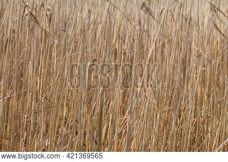 Dry Norfolk Reed Twigs Background In Early Spring Time With Copy Space