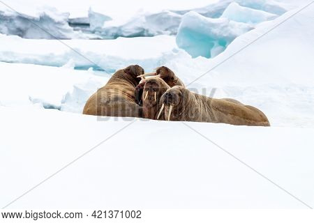 Adult walruses on the fast ice around Svalbard, a Norwegian archipelago between mainland Norway and the North Pole. Space for text