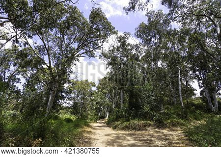 Path In The Eucalyptus Forest Between The Trees In The Sunlight On The Background Of The Sky With Cl