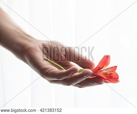 A Womans Hand Holds A Alstroemeria Flower Against A White Background. Front View. Selective Focus. C