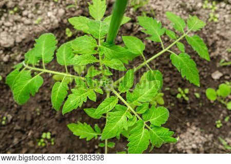 Tomato Bush With Green Leaves, Top View.