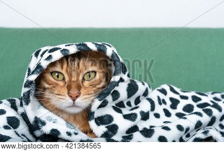Bengal Cat Covered By Blanket Or Plaid, Cat Wrapped In Warm Plaid
