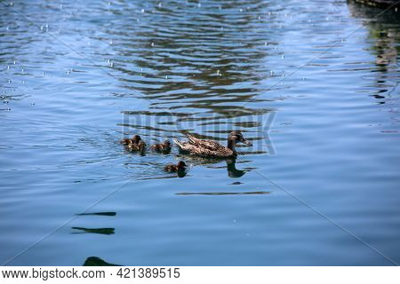 Mother Mallard duck with ducklings swimming in a lake. Female wild mallard duck with baby birds in spring. Ducks in pond water.