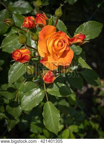Fine Flowers And Buds Of An Orange-red Rose With Green Leaves Rome, Italy