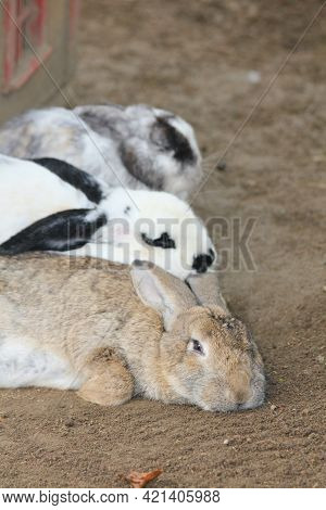 The Domestic Rabbit Is The Domesticated Form Of The Wild Rabbit