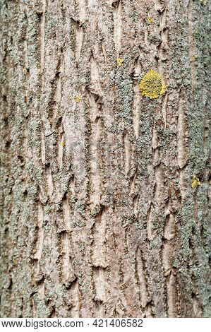 Tree Bark. Rough Texture Of Tree Bark. Natural Creative Texture For Editing And Design. Free Space.