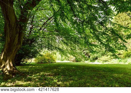 Old Tree In The Public Park On A Sunny Summer Day. High Resolution Image Ideal For Interior Decorati